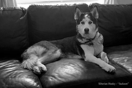 Dogs Siberian Husky black and white poster